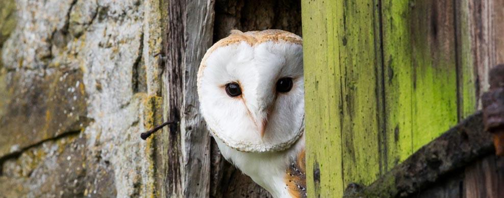 banner-barn-owl